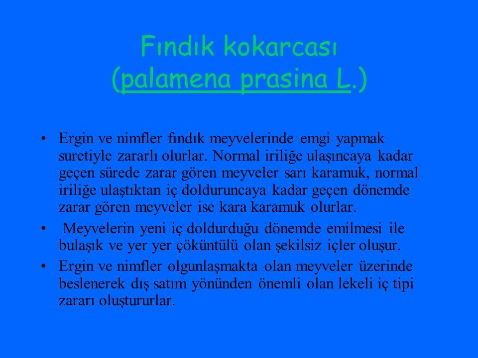Fındık kokarcası (palamena prasina L.)