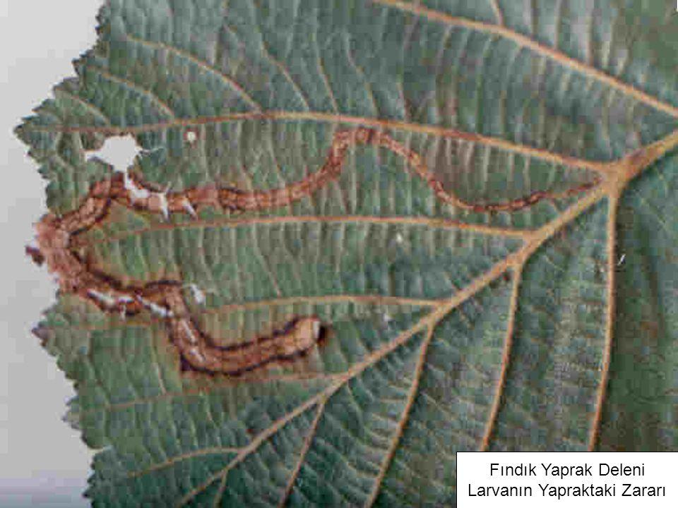 Larvanın Yapraktaki Zararı