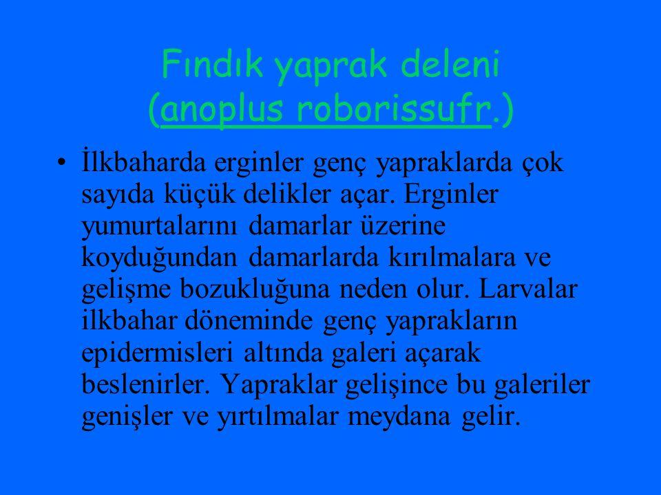 Fındık yaprak deleni (anoplus roborissufr.)