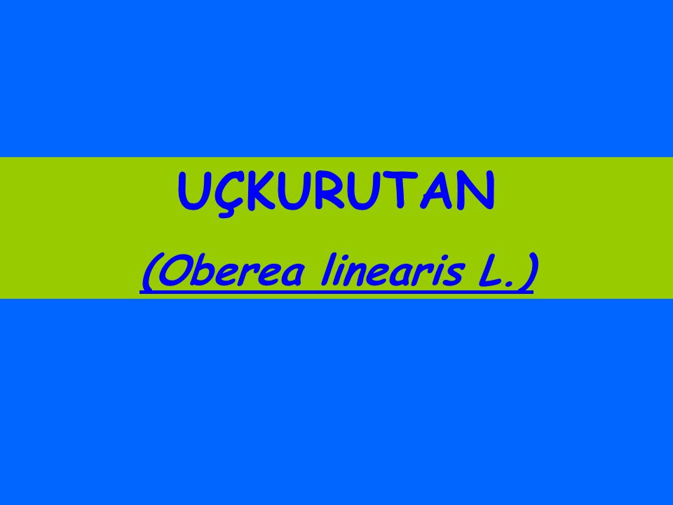 UÇKURUTAN (Oberea linearis L.)