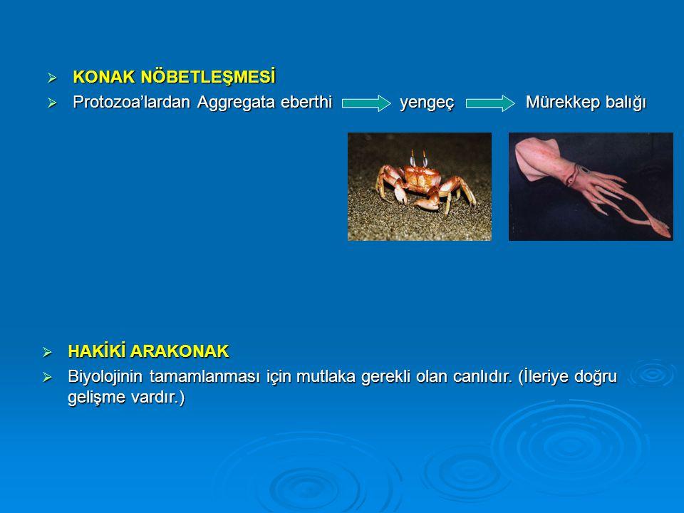 KONAK NÖBETLEŞMESİ Protozoa'lardan Aggregata eberthi yengeç Mürekkep balığı.