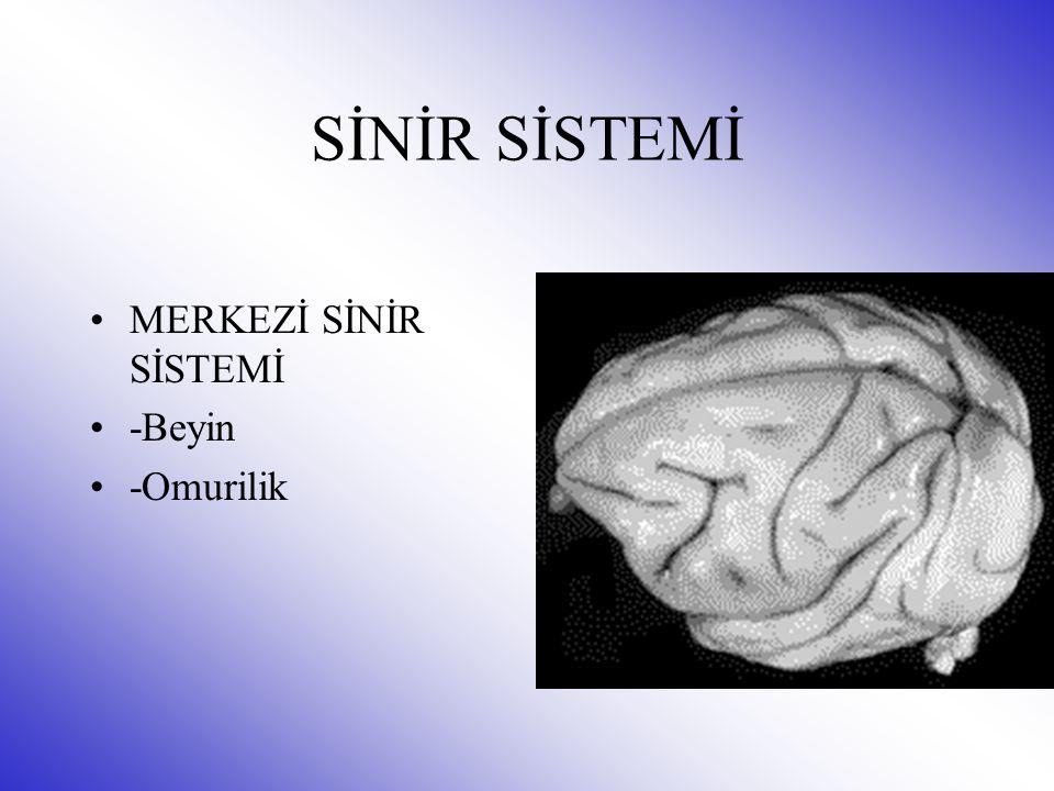 SİNİR SİSTEMİ MERKEZİ SİNİR SİSTEMİ -Beyin -Omurilik
