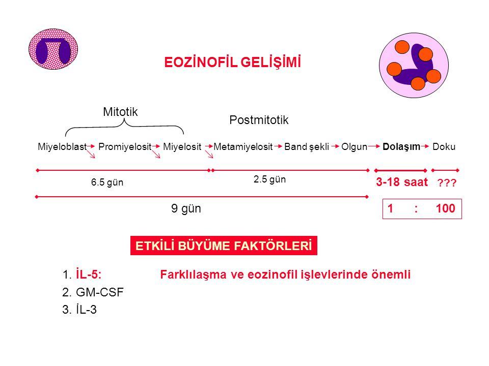 EOZİNOFİL GELİŞİMİ Mitotik Postmitotik 3-18 saat 1 : 100 9 gün