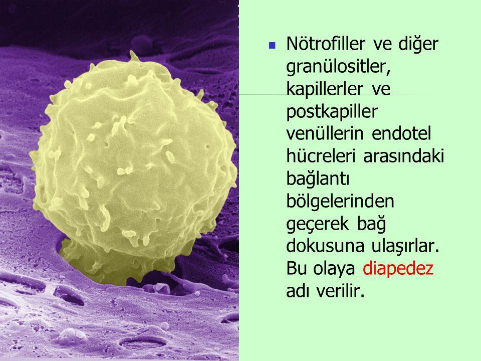 Nötrofiller ve diğer granülositler, kapillerler ve postkapiller venüllerin endotel hücreleri arasındaki bağlantı bölgelerinden geçerek bağ dokusuna ulaşırlar.