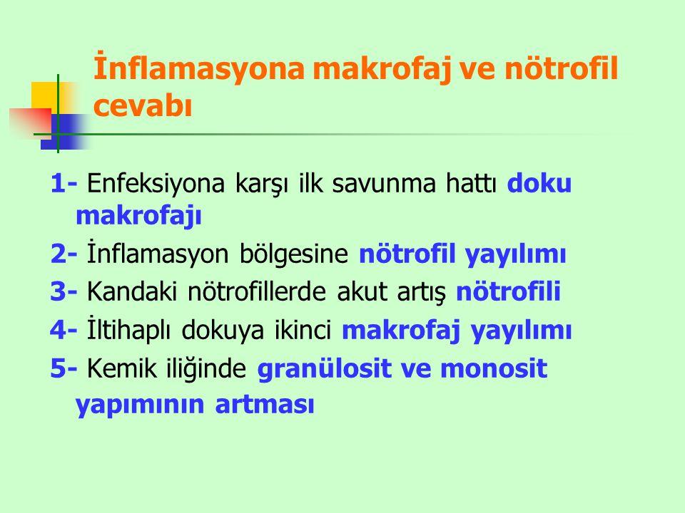 İnflamasyona makrofaj ve nötrofil cevabı
