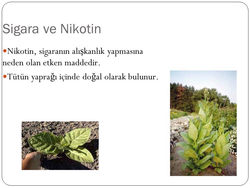 Sigara ve Nikotin Nikotin, sigaranın alışkanlık yapmasına neden olan etken maddedir. Tütün yaprağı içinde doğal olarak bulunur.