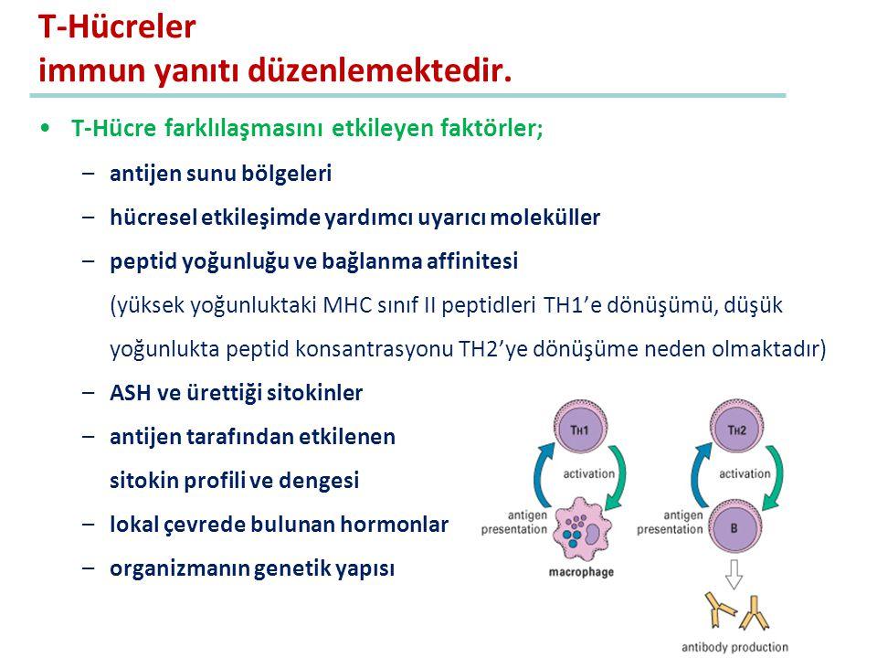 T-Hücreler immun yanıtı düzenlemektedir.