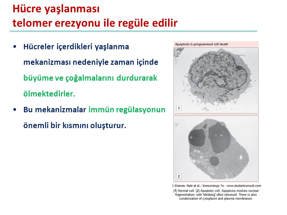 Hücre yaşlanması telomer erezyonu ile regüle edilir