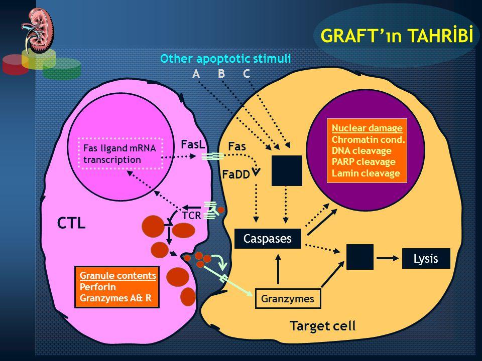GRAFT'ın TAHRİBİ CTL Target cell Lysis Caspases A B C