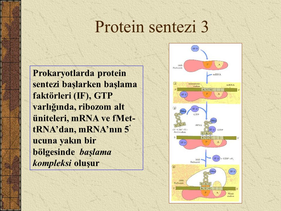 Protein sentezi 3