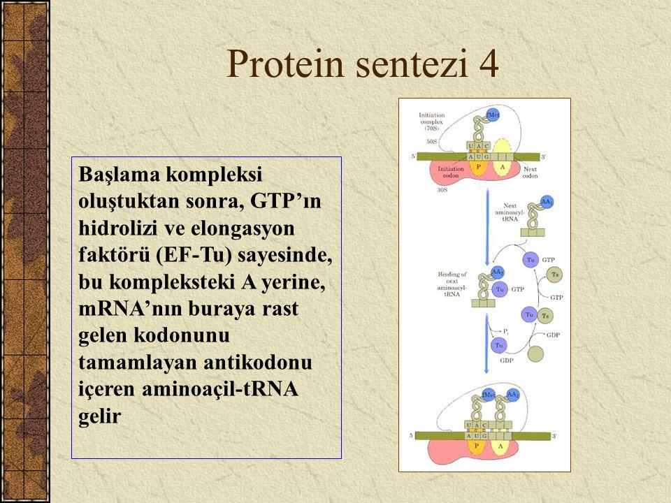 Protein sentezi 4