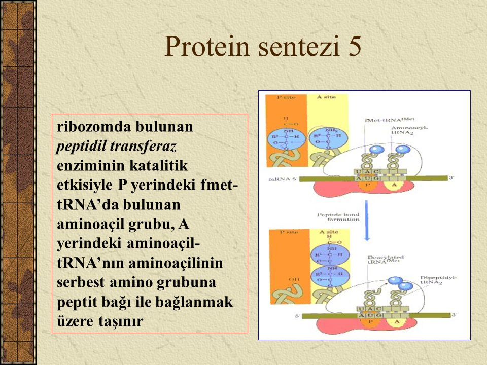 Protein sentezi 5