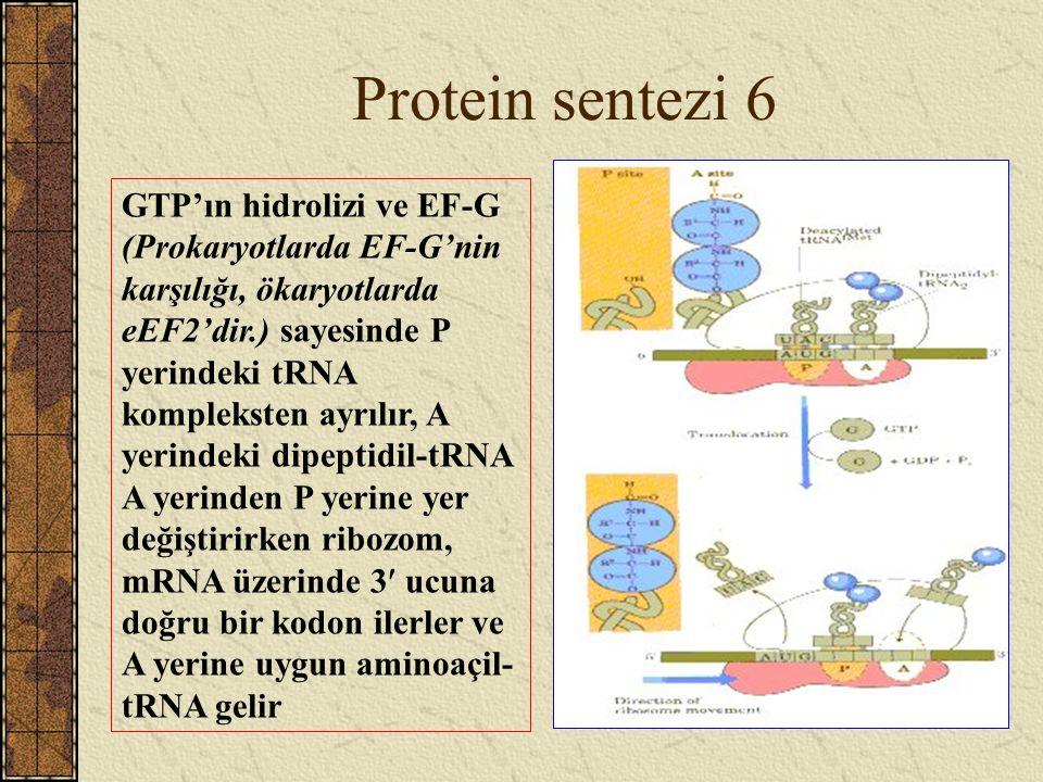 Protein sentezi 6
