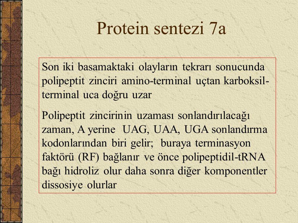 Protein sentezi 7a Son iki basamaktaki olayların tekrarı sonucunda polipeptit zinciri amino-terminal uçtan karboksil-terminal uca doğru uzar.