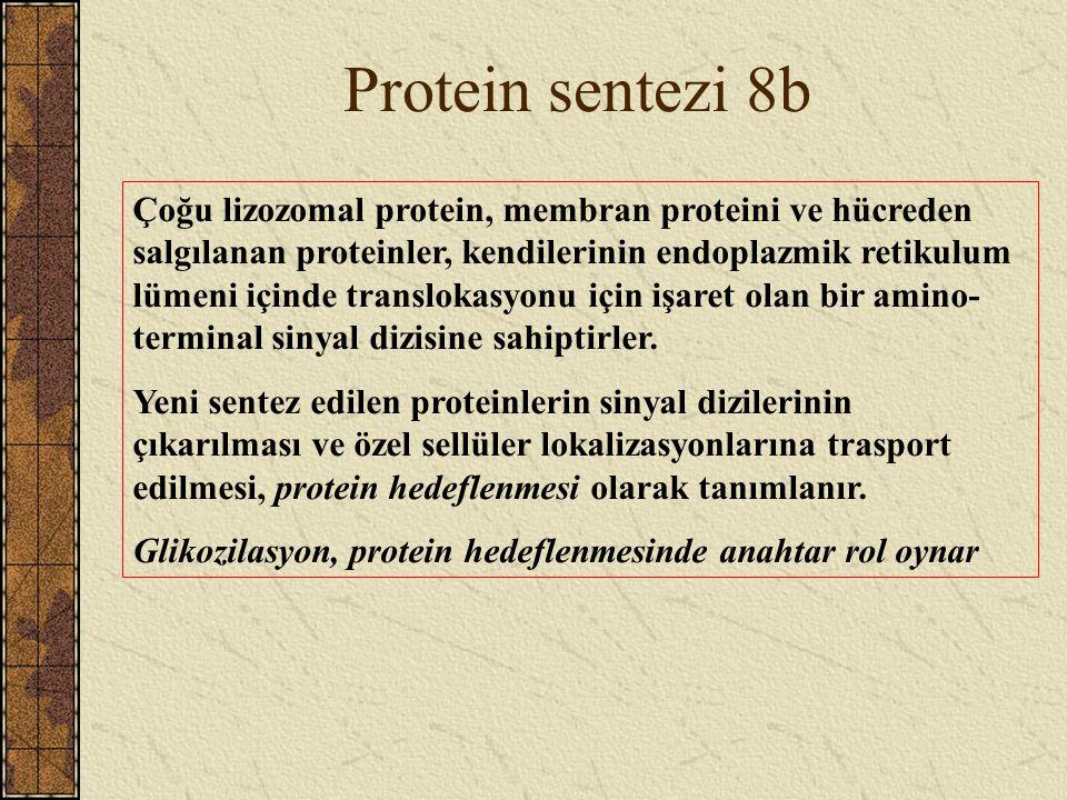 Protein sentezi 8b