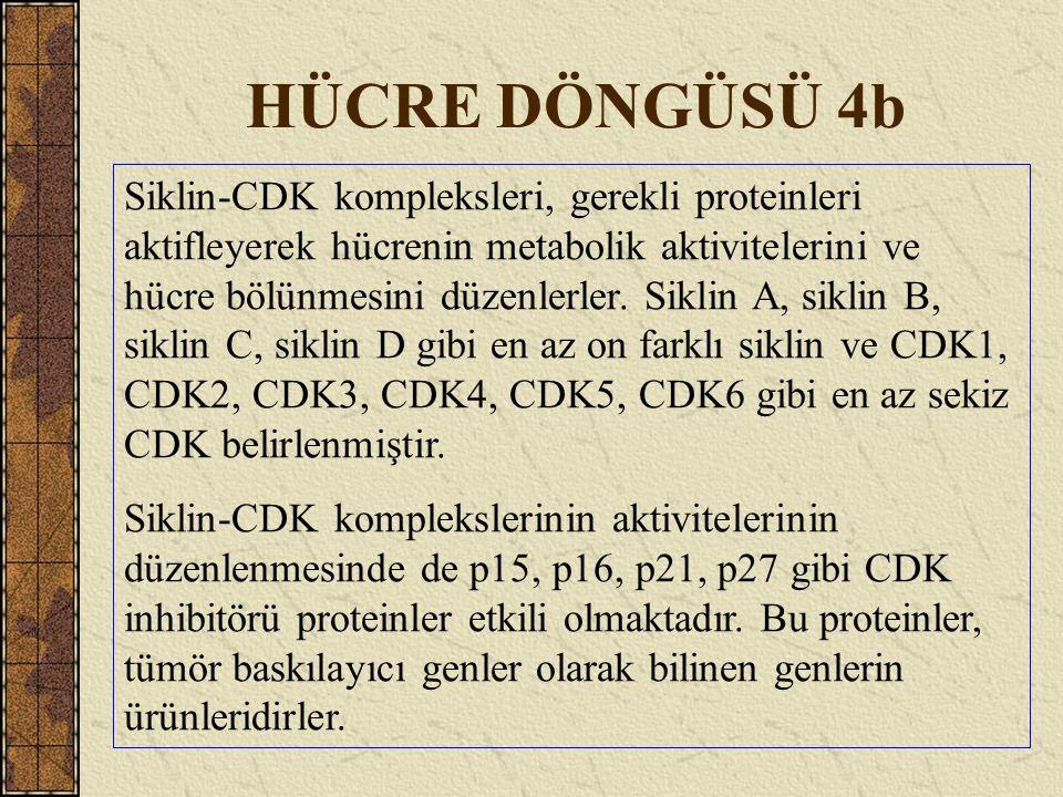 HÜCRE DÖNGÜSÜ 4b