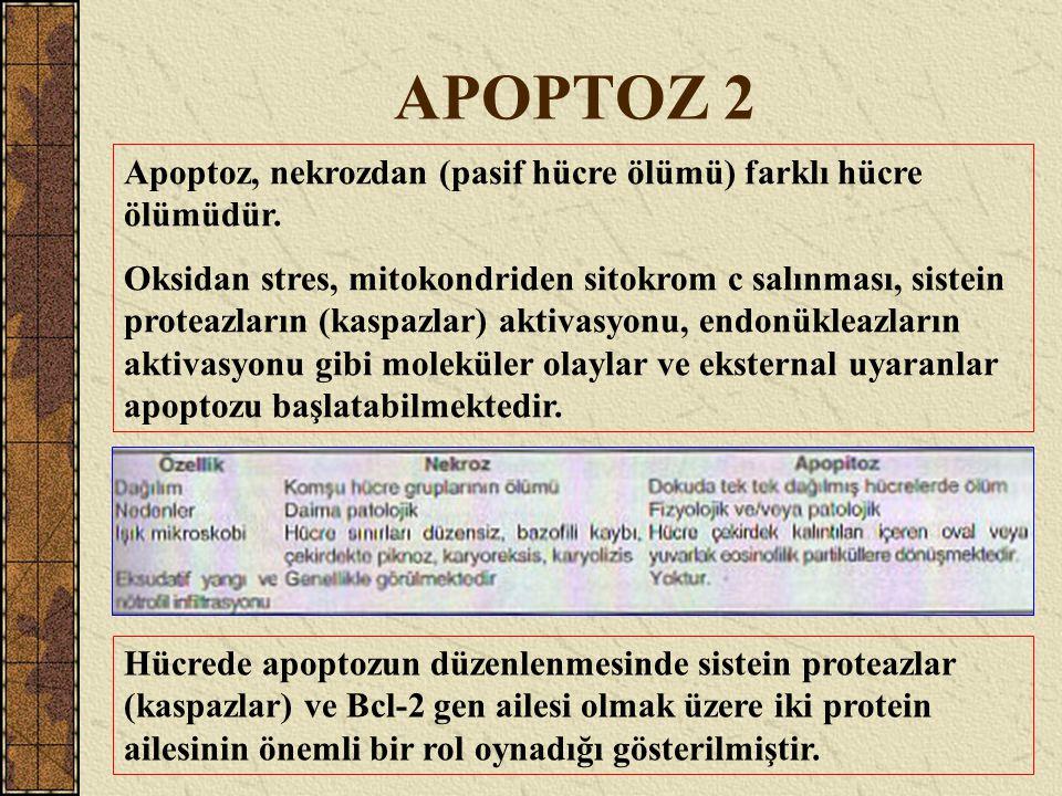 APOPTOZ 2 Apoptoz, nekrozdan (pasif hücre ölümü) farklı hücre ölümüdür.