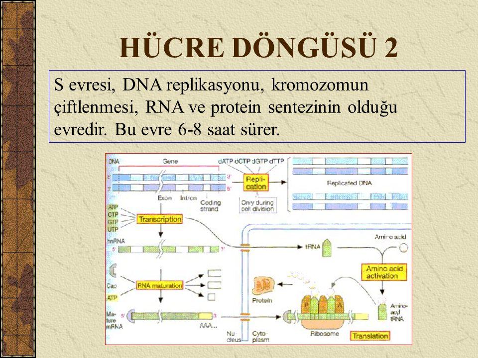 HÜCRE DÖNGÜSÜ 2 S evresi, DNA replikasyonu, kromozomun çiftlenmesi, RNA ve protein sentezinin olduğu evredir.