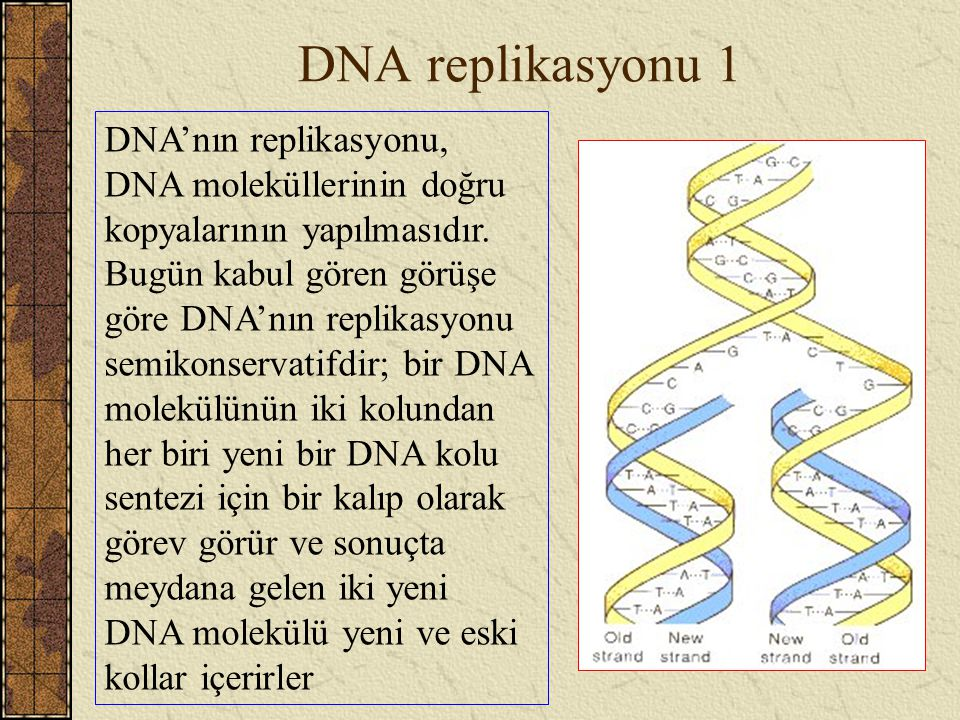 DNA replikasyonu 1