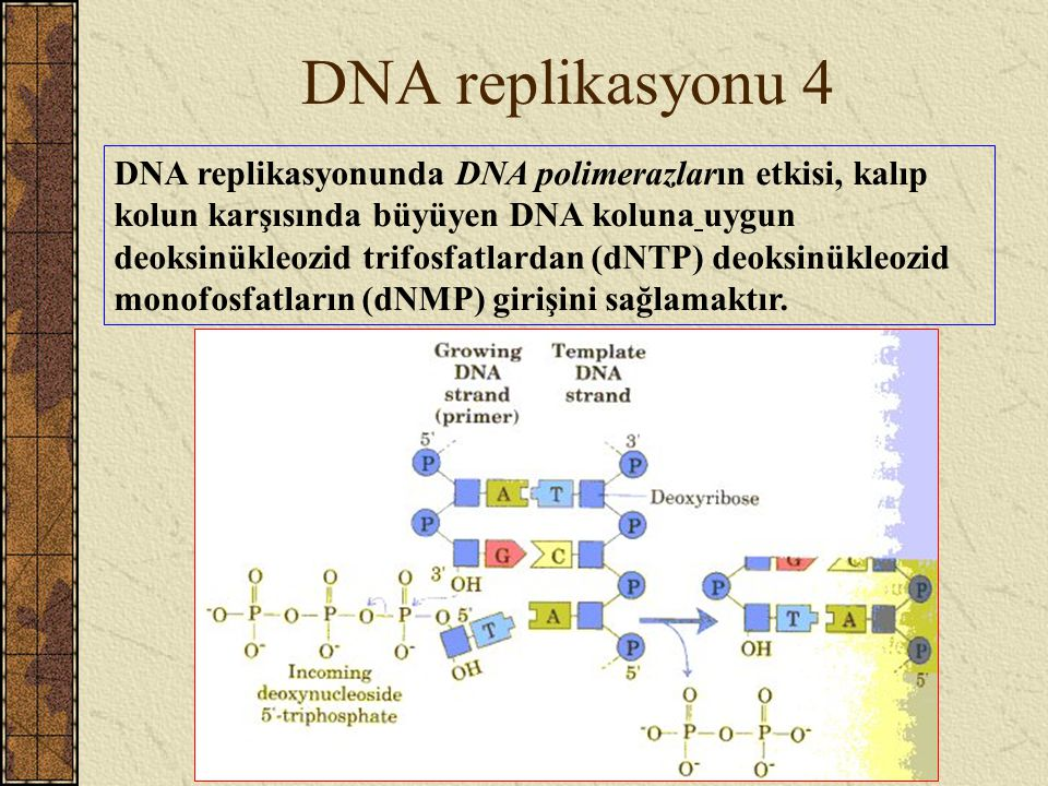 DNA replikasyonu 4