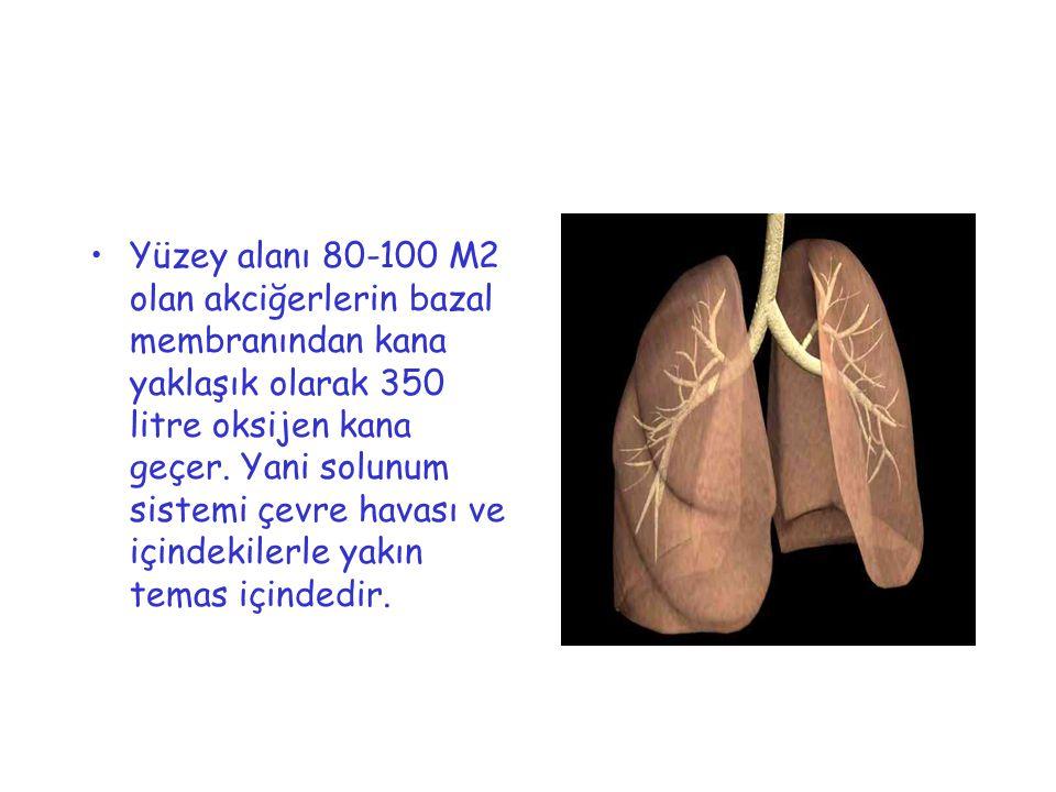 Yüzey alanı 80-100 M2 olan akciğerlerin bazal membranından kana yaklaşık olarak 350 litre oksijen kana geçer.