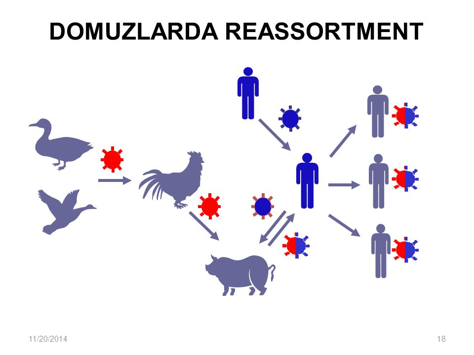 DOMUZLARDA REASSORTMENT