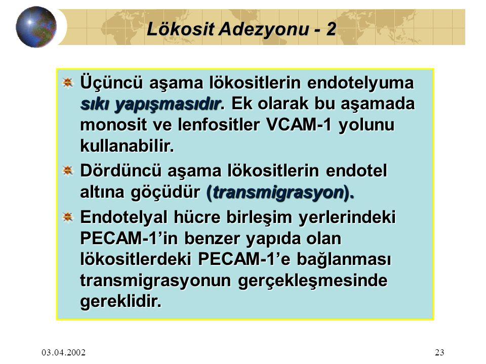 Lökosit Adezyonu - 2 Üçüncü aşama lökositlerin endotelyuma sıkı yapışmasıdır. Ek olarak bu aşamada monosit ve lenfositler VCAM-1 yolunu kullanabilir.