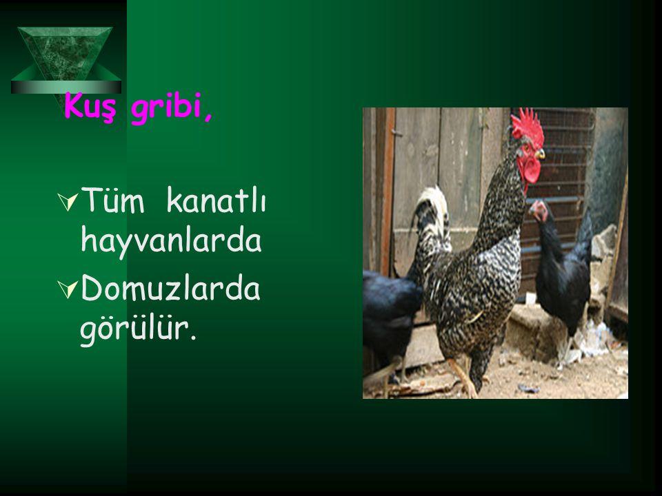 Tüm kanatlı hayvanlarda Domuzlarda görülür.