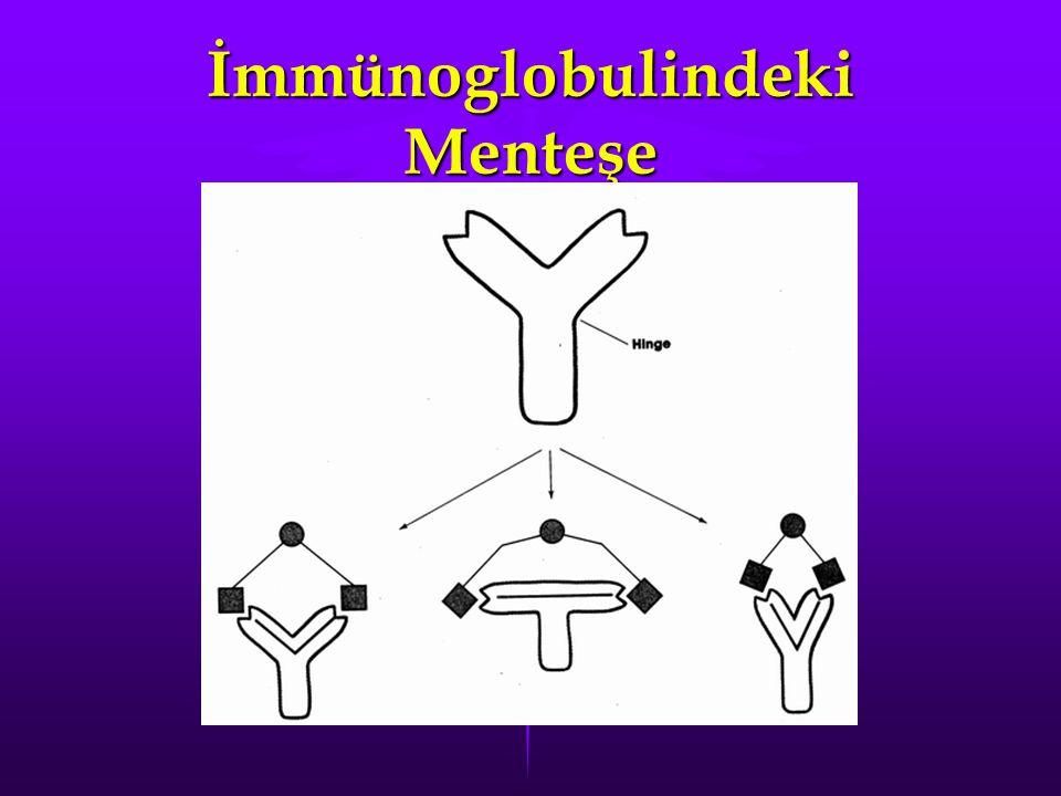 İmmünoglobulindeki Menteşe