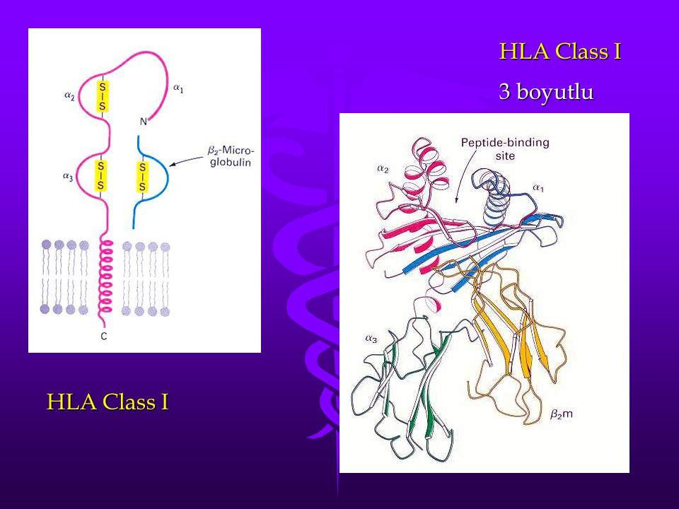 HLA Class I 3 boyutlu HLA Class I