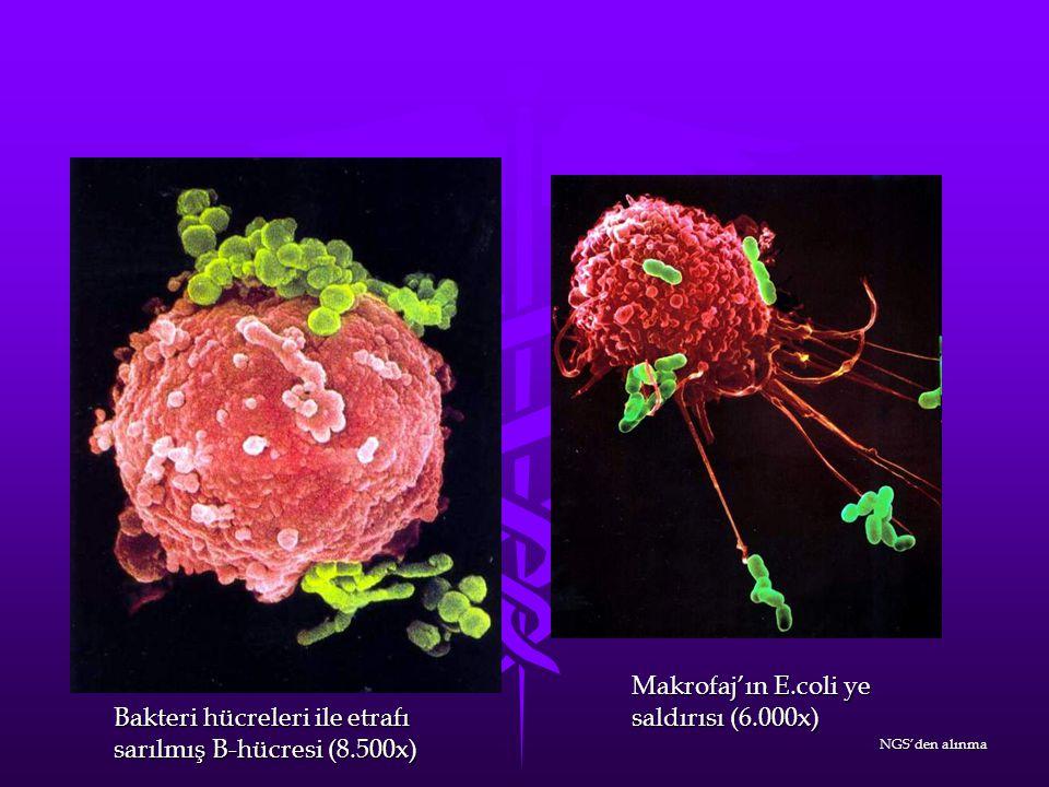 Makrofaj'ın E.coli ye saldırısı (6.000x)