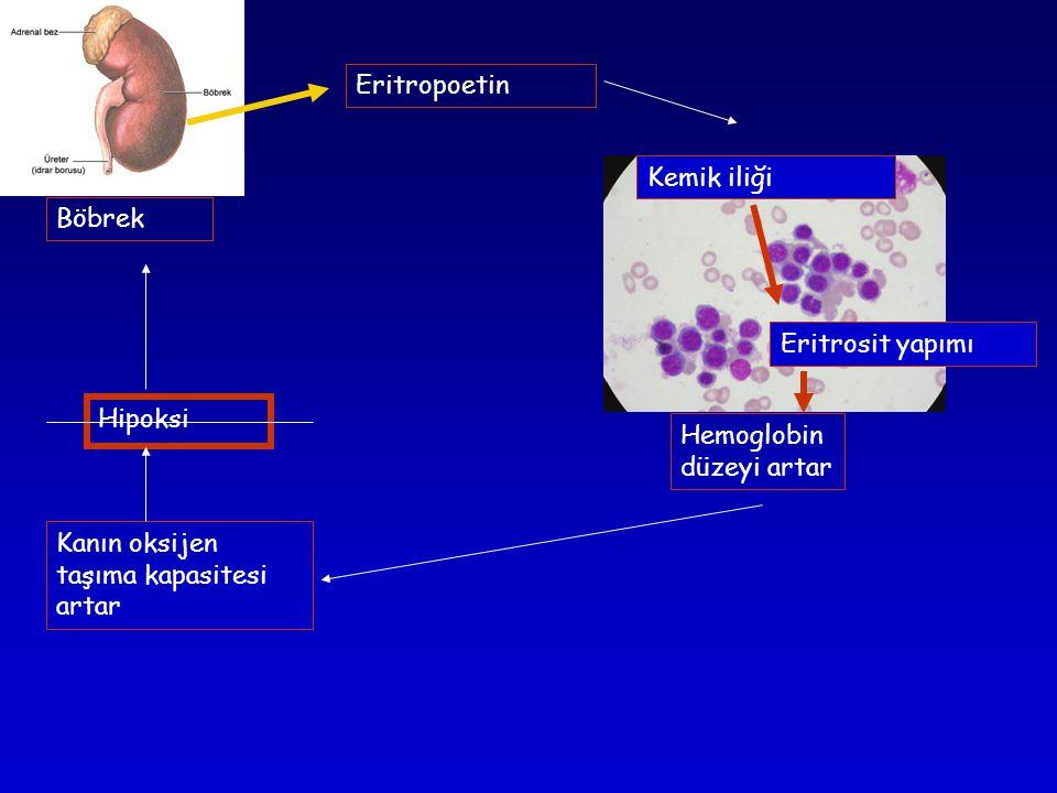 Eritropoetin Kemik iliği. Böbrek. Eritrosit yapımı.