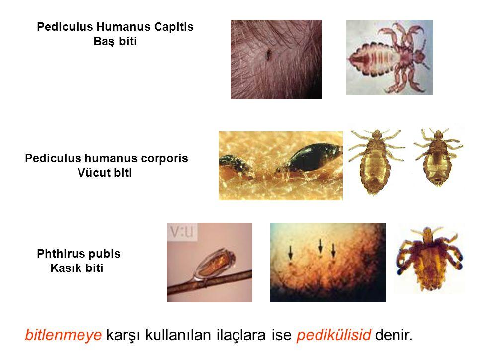 Pediculus Humanus Capitis Pediculus humanus corporis