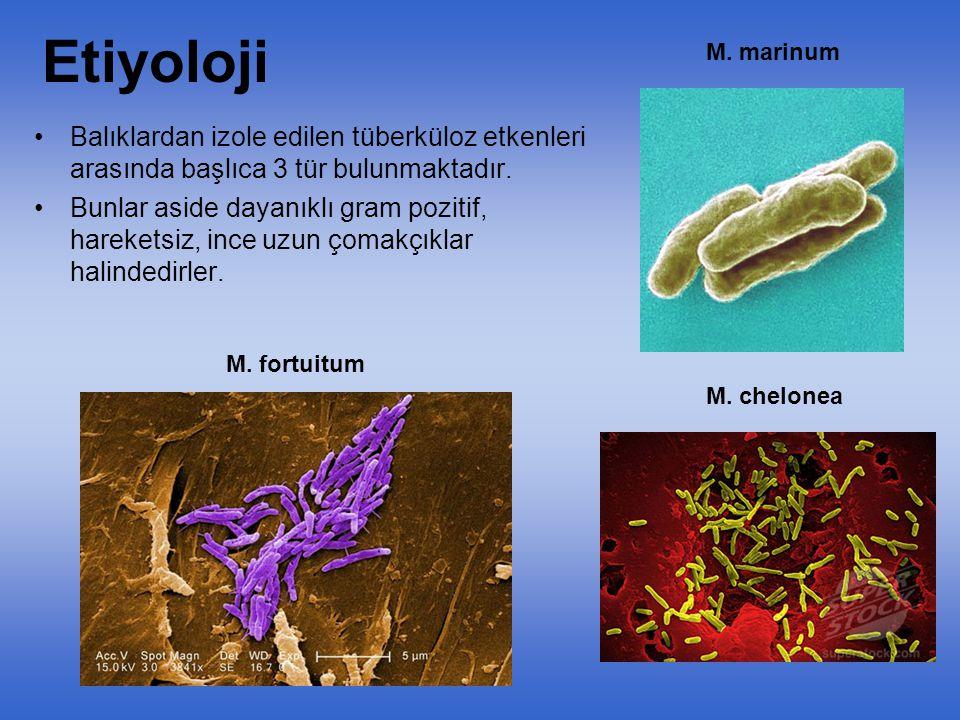 Etiyoloji M. marinum. Balıklardan izole edilen tüberküloz etkenleri arasında başlıca 3 tür bulunmaktadır.
