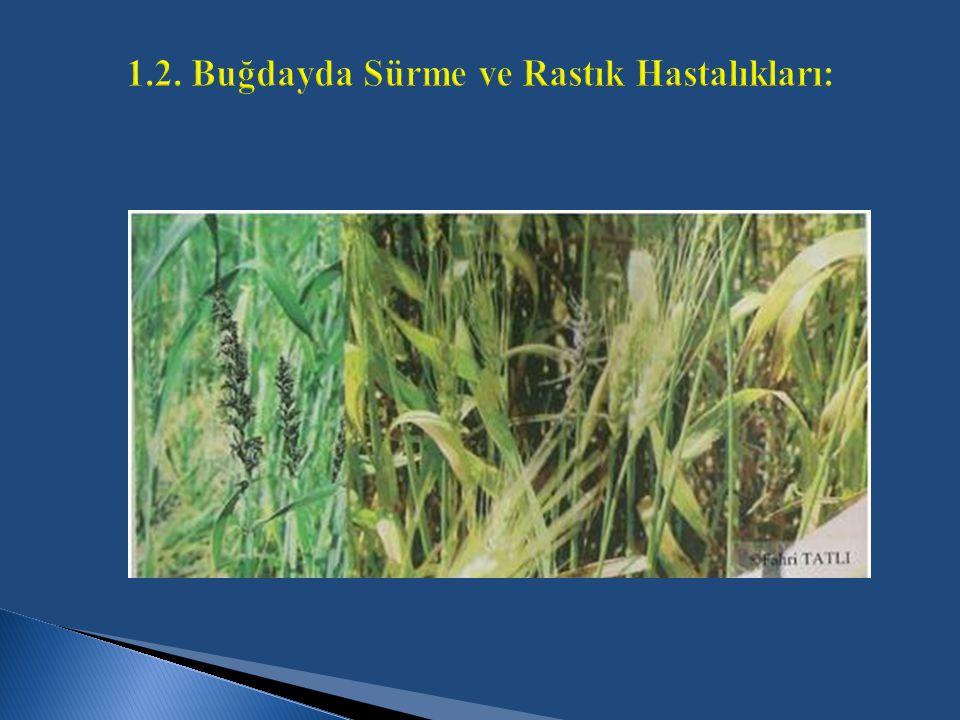 1.2. Buğdayda Sürme ve Rastık Hastalıkları:
