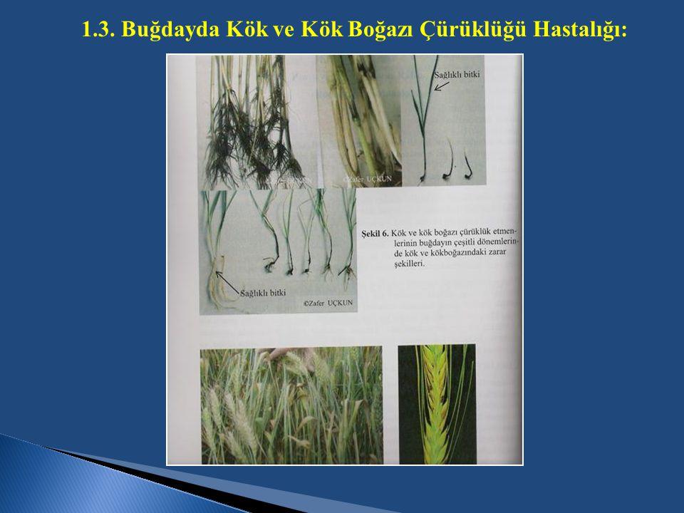 1.3. Buğdayda Kök ve Kök Boğazı Çürüklüğü Hastalığı: