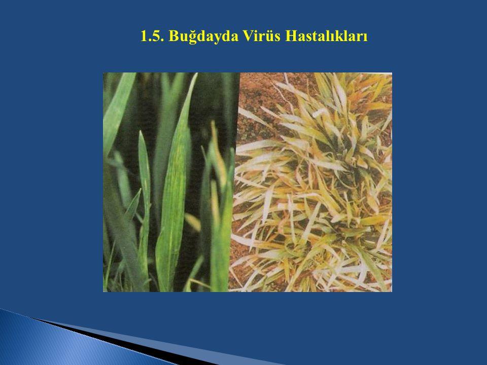 1.5. Buğdayda Virüs Hastalıkları
