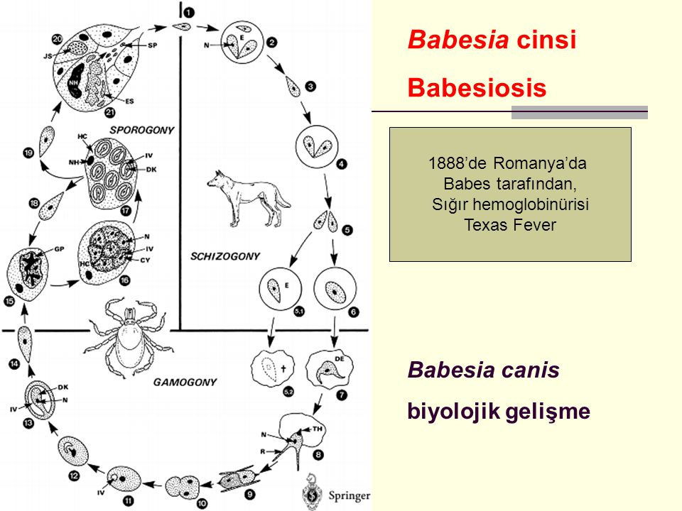 Sığır hemoglobinürisi