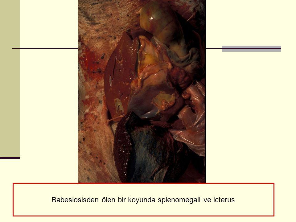 Babesiosisden ölen bir koyunda splenomegali ve icterus