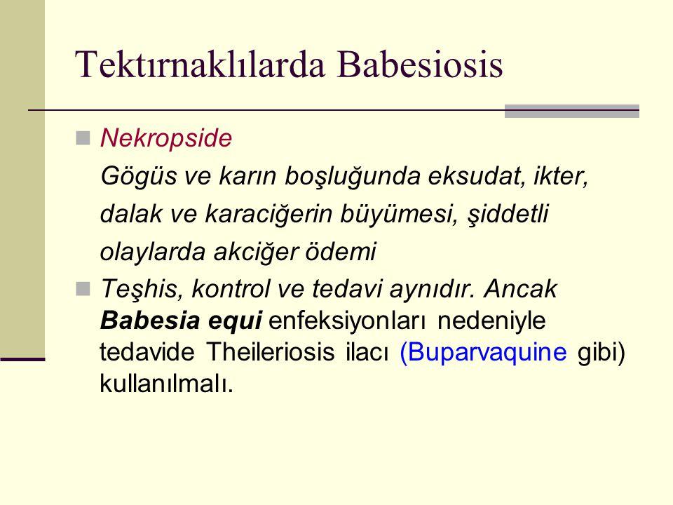 Tektırnaklılarda Babesiosis