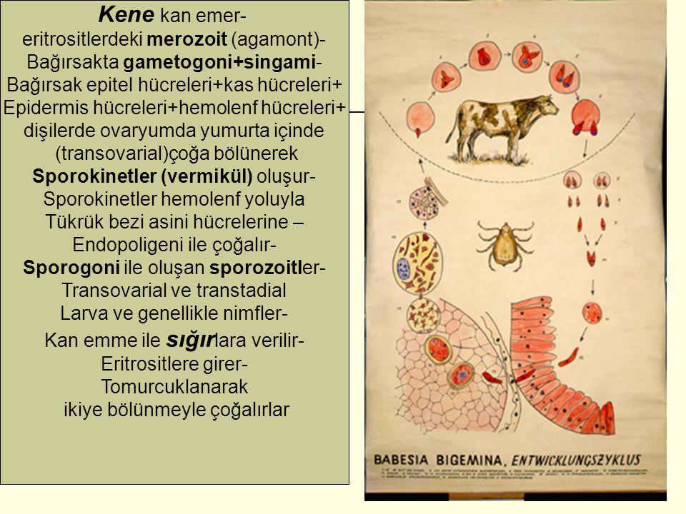Kene kan emer- eritrositlerdeki merozoit (agamont)-
