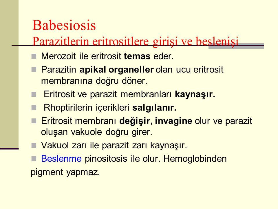 Babesiosis Parazitlerin eritrositlere girişi ve beslenişi