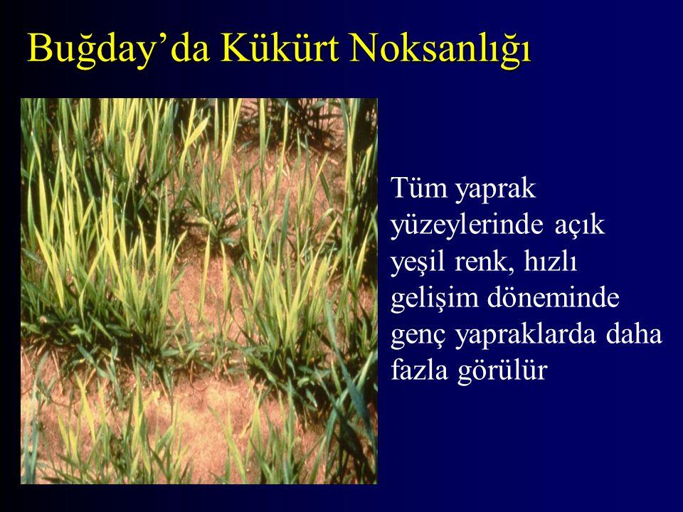 Buğday'da Kükürt Noksanlığı