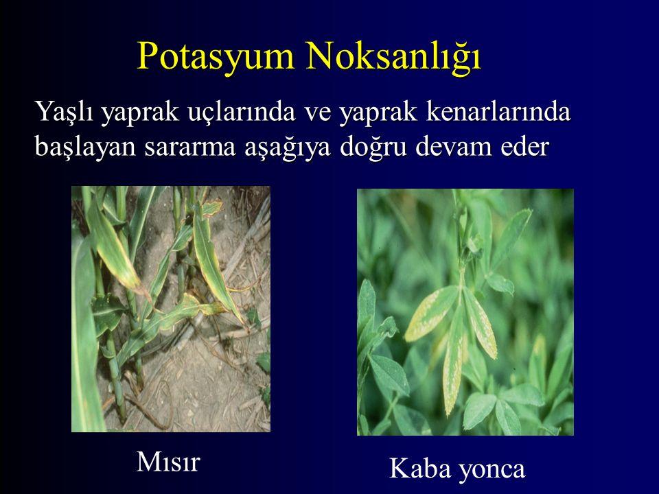 Potasyum Noksanlığı Yaşlı yaprak uçlarında ve yaprak kenarlarında başlayan sararma aşağıya doğru devam eder.