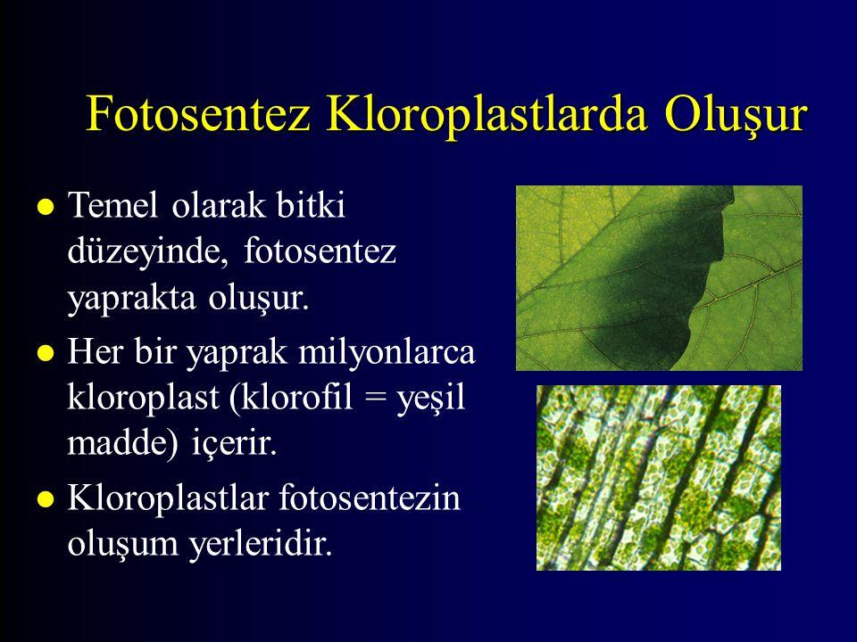 Fotosentez Kloroplastlarda Oluşur