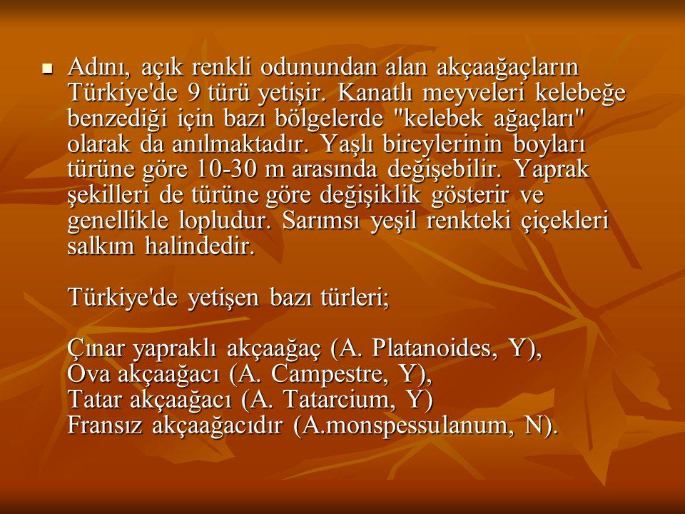 Adını, açık renkli odunundan alan akçaağaçların Türkiye de 9 türü yetişir.