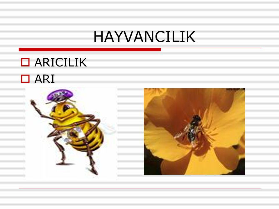 HAYVANCILIK ARICILIK ARI