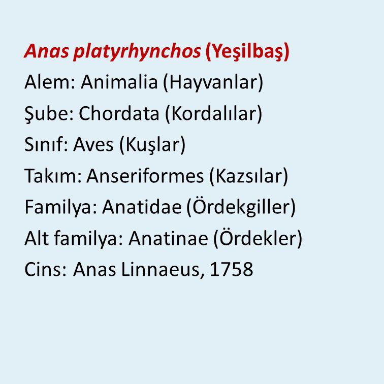 Anas platyrhynchos (Yeşilbaş) Alem: Animalia (Hayvanlar) Şube: Chordata (Kordalılar) Sınıf: Aves (Kuşlar) Takım: Anseriformes (Kazsılar) Familya: Anatidae (Ördekgiller) Alt familya: Anatinae (Ördekler) Cins: Anas Linnaeus, 1758