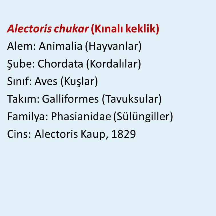Alectoris chukar (Kınalı keklik)