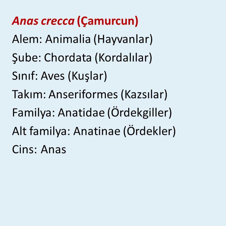 Anas crecca (Çamurcun) Alem: Animalia (Hayvanlar) Şube: Chordata (Kordalılar) Sınıf: Aves (Kuşlar) Takım: Anseriformes (Kazsılar) Familya: Anatidae (Ördekgiller) Alt familya: Anatinae (Ördekler) Cins: Anas